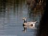 Bar-headed Goose by xrxss15