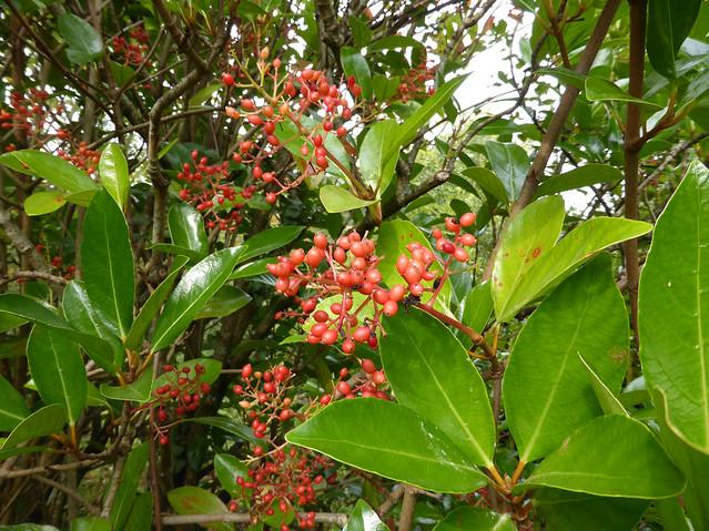 Viburnum odoratissimum Ker Gawl. 1820 (ADOXACEAE)