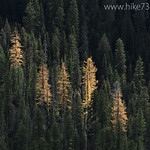 Golden Larch stands
