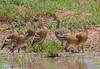 Plumed Whistling Ducks (Dendrocygna eytoni) by Geoff Whalan