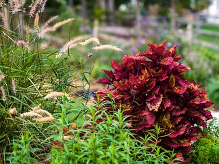 coleus and grasses | by wnkremer1