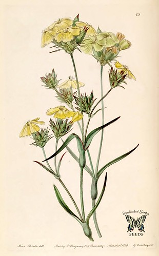 Yellow Pink. Dianthus ferrugineous. Edwards's Botanical Register vol. 25 (1839)
