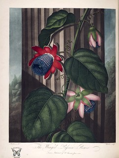 Winged passion flower. Passiflora alata. Thornton, R.J., New illustration of the sexual system of Carolus von Linnaeus and the temple of Flora, or garden of nature, (1807)
