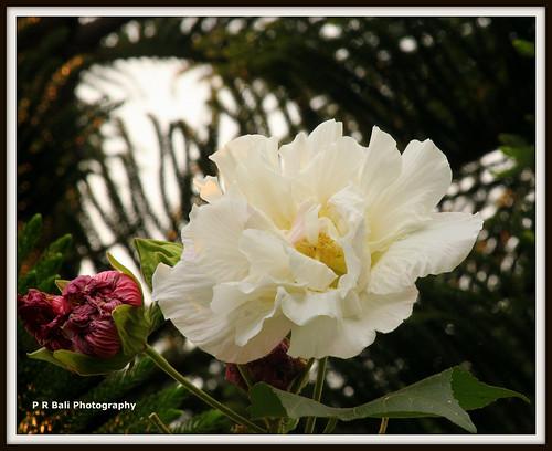 IMG_0851 copy   by P r Bali