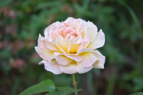 White-Pink Rose | by Lydia2222