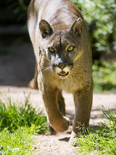 Walking puma II   by Tambako the Jaguar