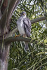 Grey Hawk, Cairns, Australia by νesko