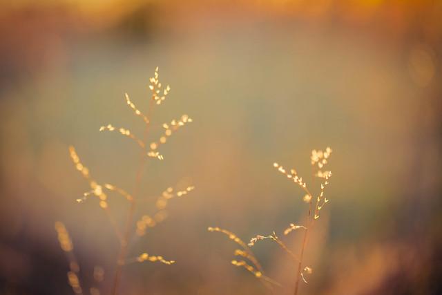 Kansas Grasses
