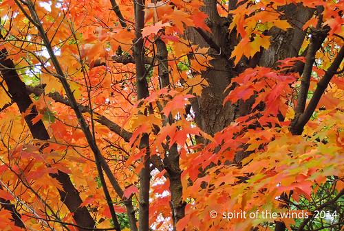 autumn fall maples otw nikonflickraward maplesinfall spokanewashingtonstate