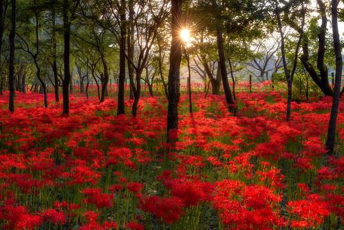 flowers autumn sunset saitama 夕焼け 2014 埼玉 彼岸花 曼珠沙華 redspiderlily 巾着田 kinchakuda 日の入り arcreyes