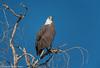 White-Bellied Sea Eagle by Stewart M