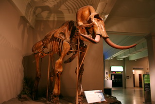 COLUMBIAN MAMMOTH (MAMMUTHUS COLUMBI) | by happy via