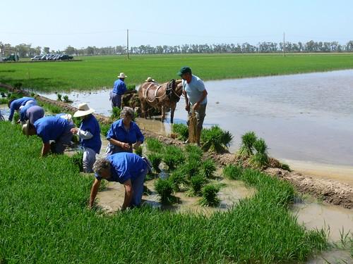 Arrencant el planter d'arròs   by joseptorta