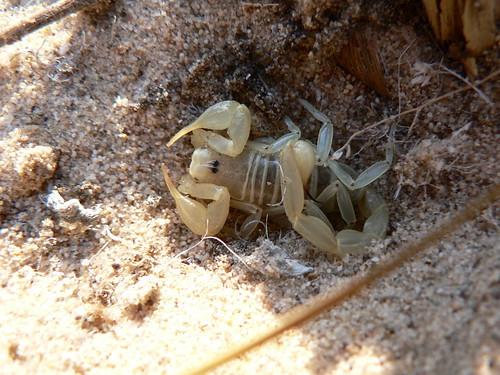Chelicerata: Arachnida: Scorpiones