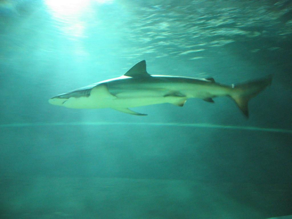 Shark in Kelly Tarlton's Antarctic Encounter and Underwater World in Auckland