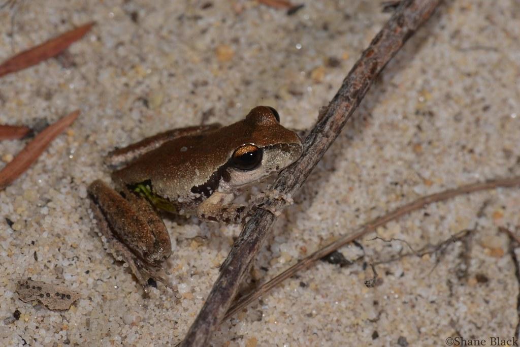 Lesueur's Tree Frog (Litoria lesueuri)