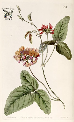 Zychia tricolor. Edwards's Botanical Register vol. 25 (1839)