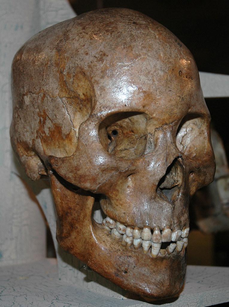 Homo sapiens skull (Holocene) 2   Homo sapiens Linnaeus ...
