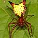 Araña Punta de Flecha - Photo (c) Judy Gallagher, algunos derechos reservados (CC BY)