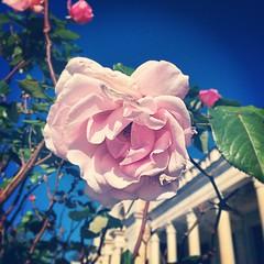 #розы в #Гаграх #Абхазия