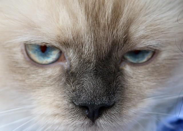 Ceniza (Ash) Female Ragdoll Cat of 6 months
