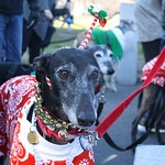 Greyhound Adventures and friends at the 12th annual Jingle Bell Walk, Boston MA, Dec 4th 2016.