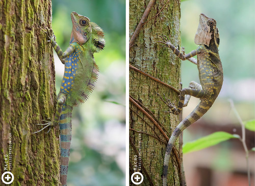 Great Angle Head Lizard- Gonocephalus grandis ♂♀ | by PF T.J.