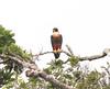 Orange-breasted Falcon 140907 Falco deiroleucus by Langham Birder
