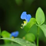 Asiatic dayflower 露草 140907 倉吉市上大立035