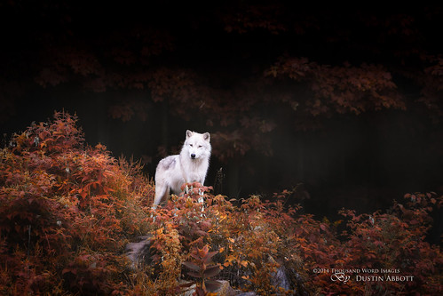 autumn canada fall beautiful animal forest fur woods quebec wildlife fineart atmosphere handheld fullframe parcomega papineauville canoneos6d canonef70300mmf456lis thousandwordimages dustinabbott dustinabbottnet adobelightroom5 adobephotoshopcc alienskinexposure6