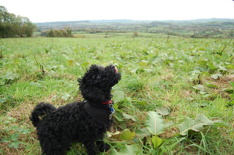 Felix the Miniature Poodle