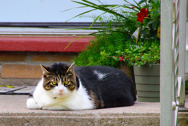Belleville Ontario ~ Canada ~ Cat On Heritage Building Steps