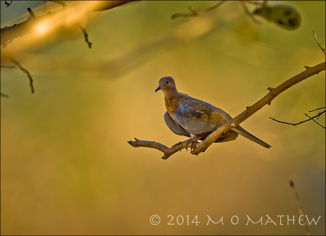 African Laughing Dove