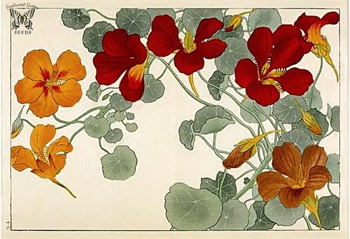 Nasturtium | by Swallowtail Garden Seeds