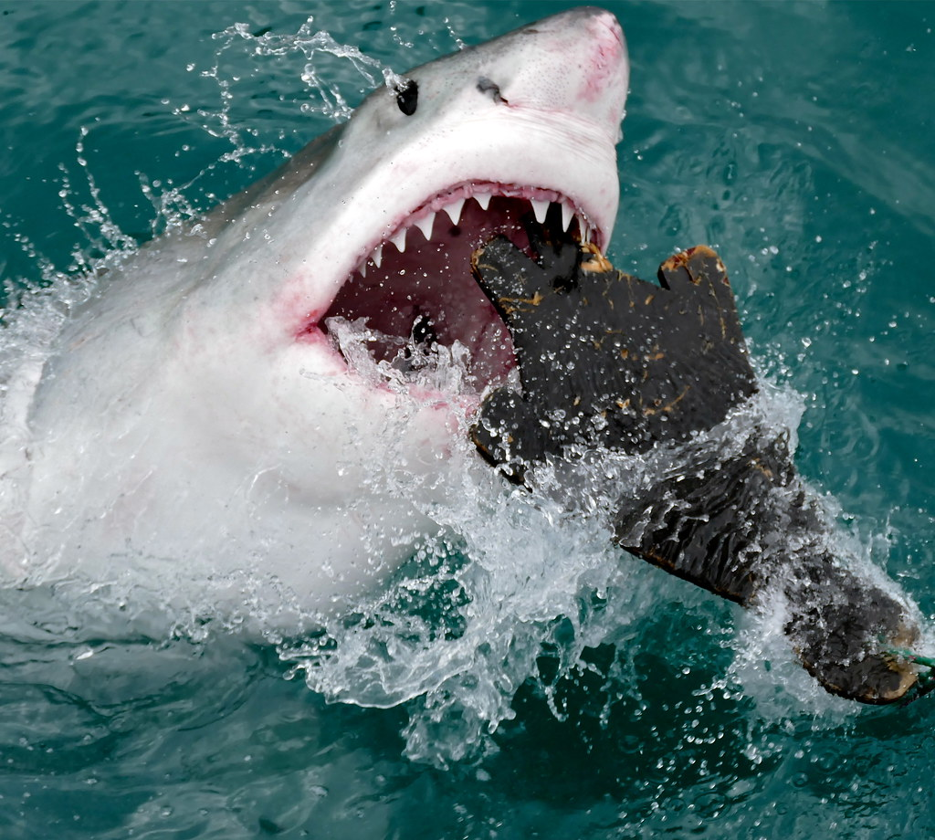 Great White Shark (Carcharodon carcharias) attacking a sea… - Flickr