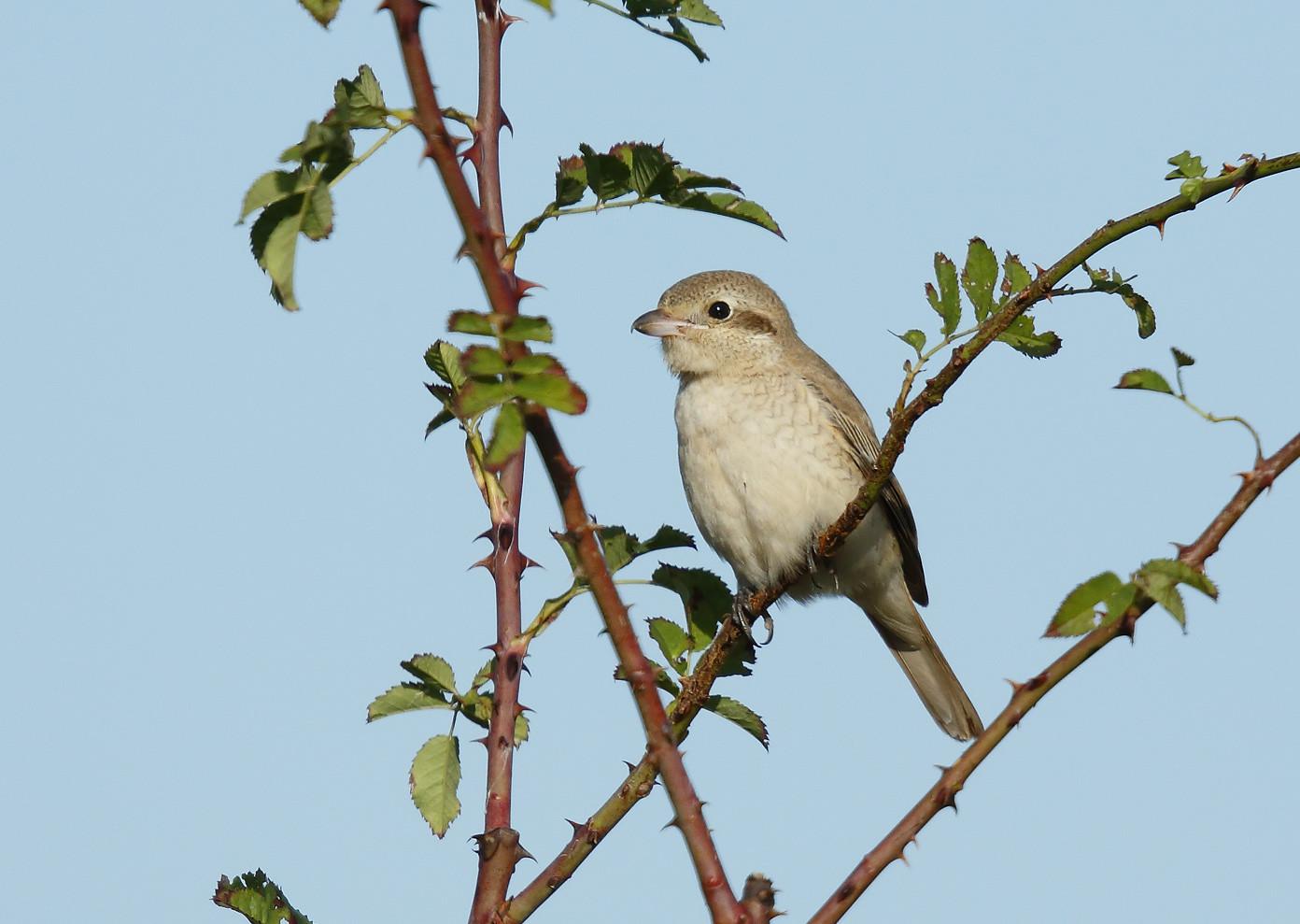 Isabelline [Daurian] Shrike
