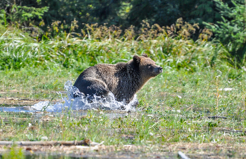 Grizzly playing in the water