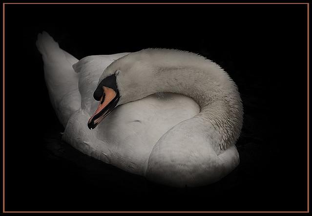Laid back swan.