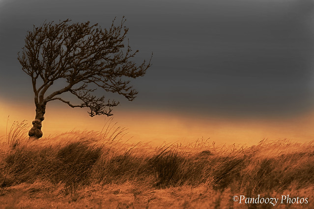 A Tree stands  on Dartmoors National Park at sunrise. Dartmoor, Devon. England. Uk