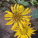 Flickr photo 'H20121108-5961—Grindelia stricta var platyphylla—RPBG' by: John Rusk.