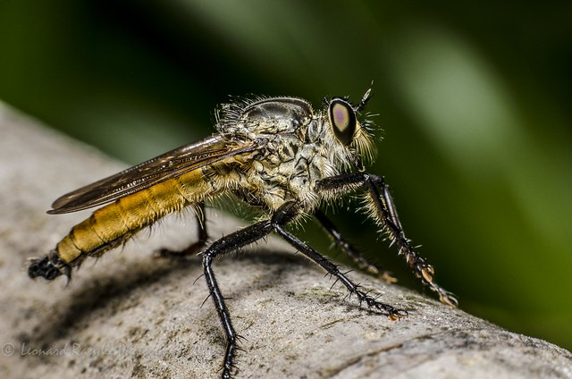 Asilidae (Robber Fly)