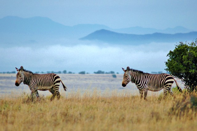 Mountain Zebras...above the clouds
