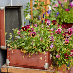 flowers in old suitcase