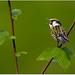 Chestnut-sided Warbler by BN Singh