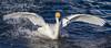Whooper Swan (Cygnus cygnus)-5162 by Stein Arne Jensen