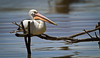 Australian pelican (Pelecanus conspicillatus) Explored by Trace Connolly Photography