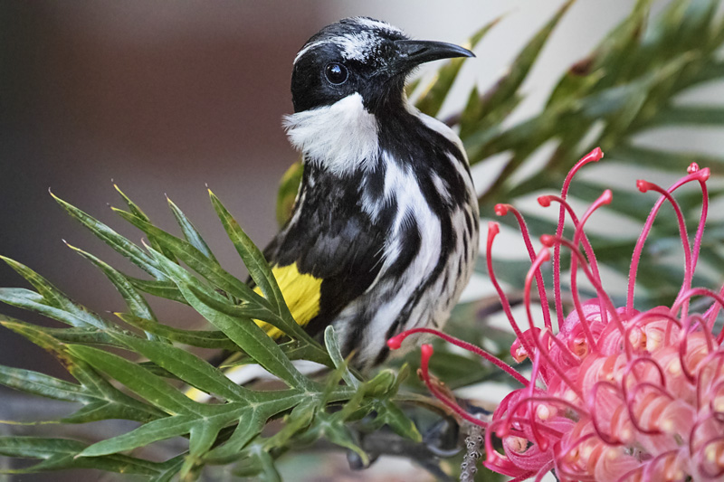 white_cheeked_honeyeater-2-weba
