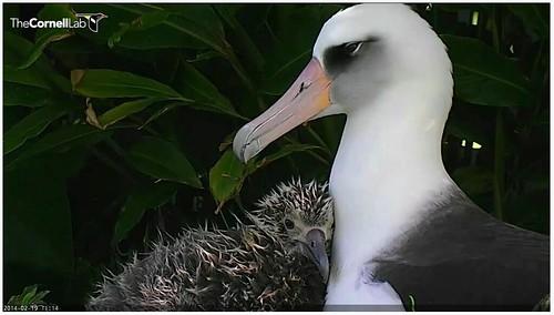 Kaloakulua and Kaluakane 2014-02-19 at 11.14 AM   by Cornell Lab of Ornithology