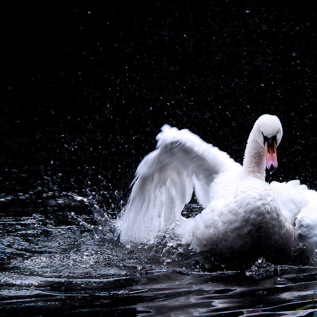 creation of the universe (swan version)