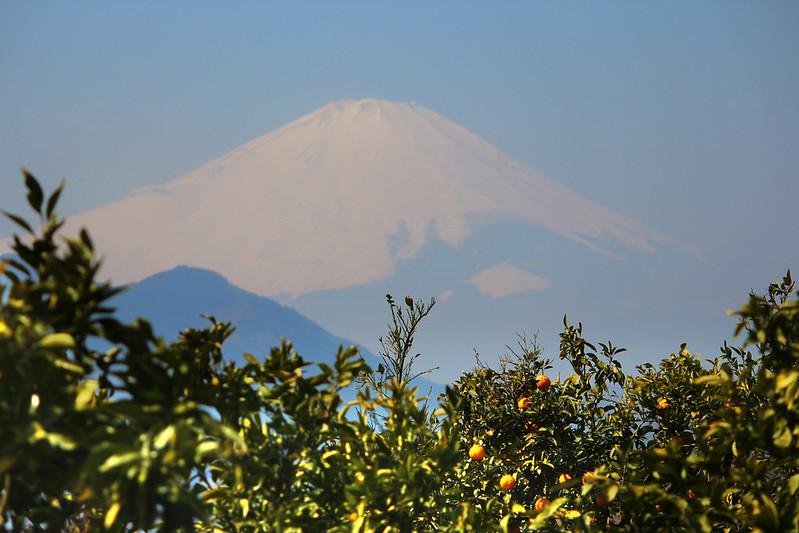 みかん畑と富士山